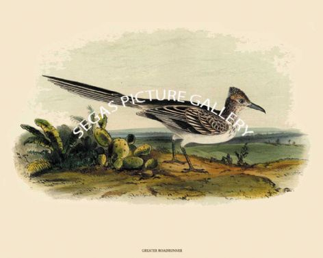 Fine art Print of the Greater Roadrunner or Ground Cuckoo or Prairie Cock by John Cassin (1856)
